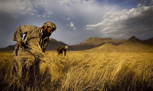 COLHEITA NOS TEMPOS BÍBLICOS- AGRICULTURA NA PALESTINA