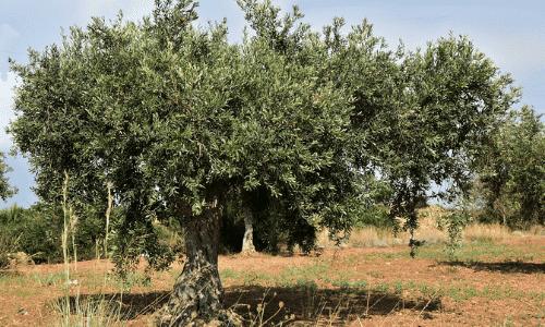 oliveira - agricultura nos tempos bíblicos