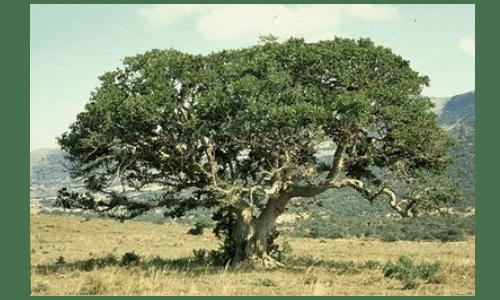 sicomoro - árvore da pestina dos dias de Jesus