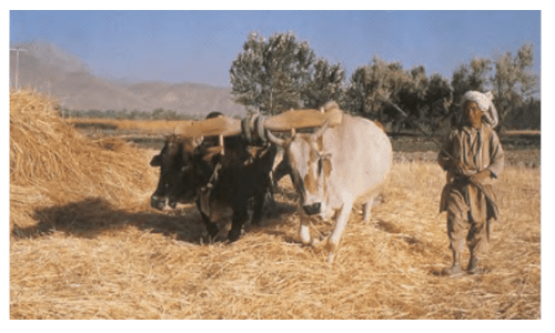 trabalho com bois na agricultura dos tempos bíblicos