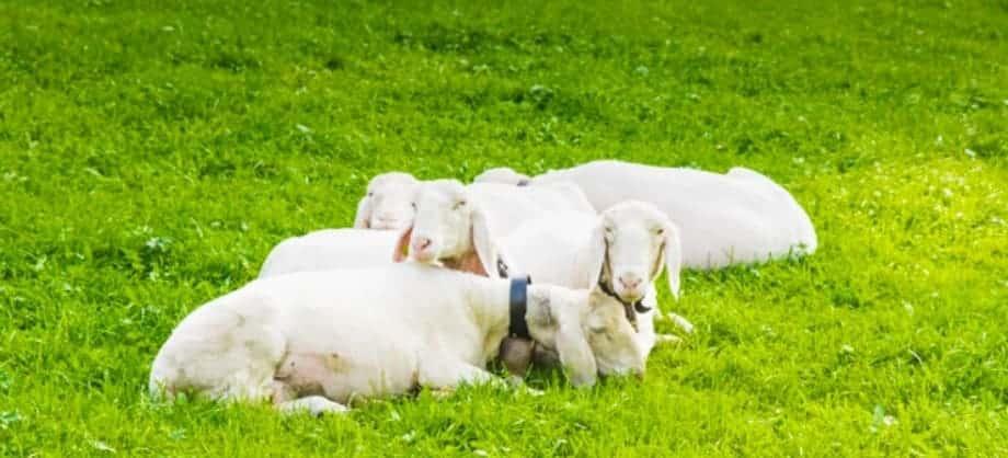 salmos 23 sermao expositivo esboco-ovelhas no pasto